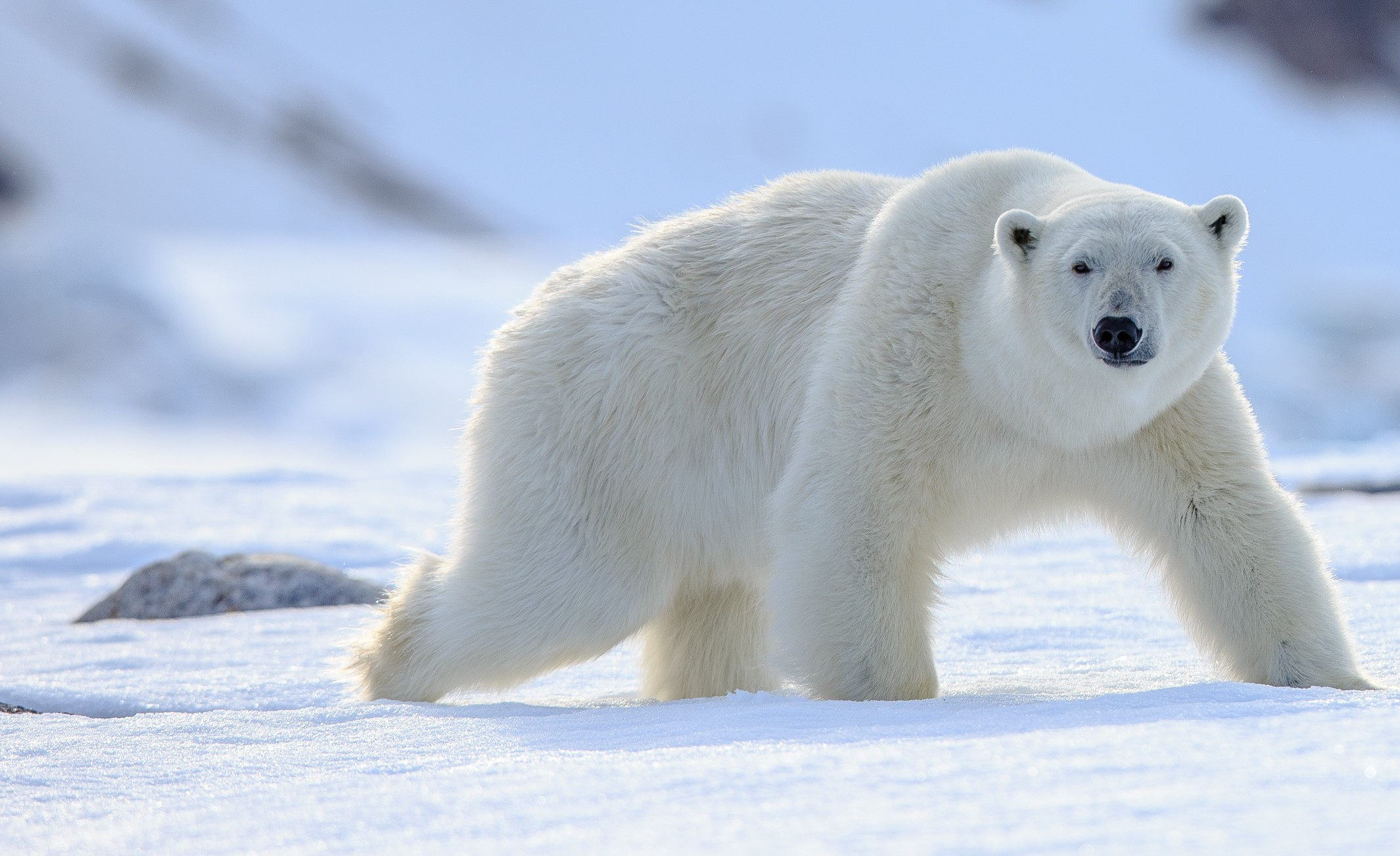 Polar bears are at risk of climate change. Is human-centred design the best method for dealing with such a threat?